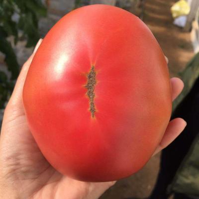 山东省烟台市海阳市普罗旺斯番茄 不打冷 硬粉 通货