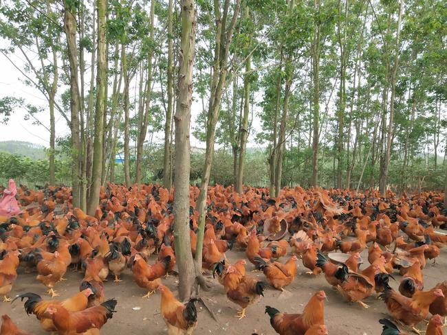 阉鸡 统货 5-6斤