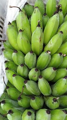 云南省文山壮族苗族自治州麻栗坡县西贡蕉 八成熟 40 - 50斤