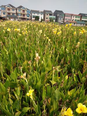 浙江省杭州市萧山区大花美人蕉 2~4cm 0.5米以下