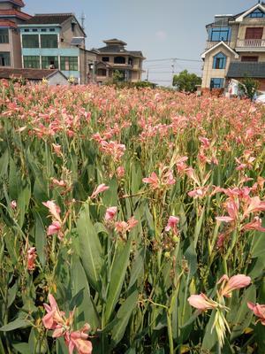 浙江省杭州市萧山区粉美人蕉 2~4cm 0.5米以下