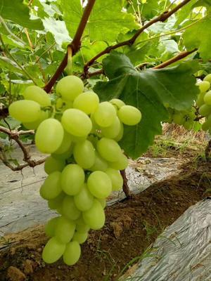 河北省衡水市饶阳县维多利亚葡萄 5%以下 1次果 1-1.5斤