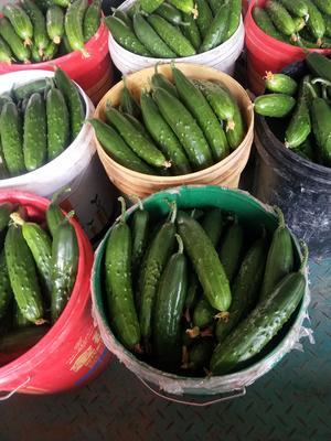 山东省青岛市平度市小黄瓜 18~22cm 鲜花带刺
