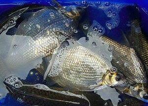 湖北省宜昌市夷陵区池塘鳊鱼 人工养殖 0.5龙8国际官网官方网站以下