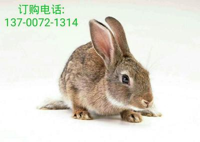 河南省安阳市汤阴县杂交野兔 5斤以上