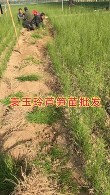 山东省菏泽市曹县芦笋种子