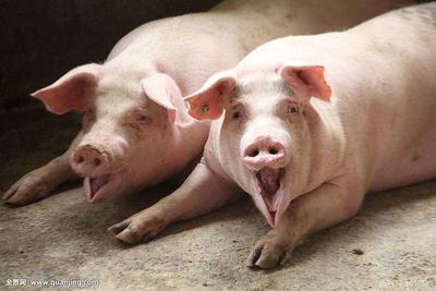 山东省烟台市栖霞市长白猪 200-300斤