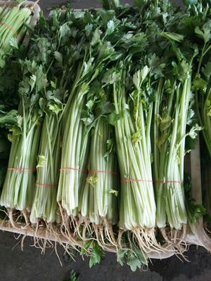 江苏省南通市海门市香芹 40~45cm 大棚种植 0.5斤以下