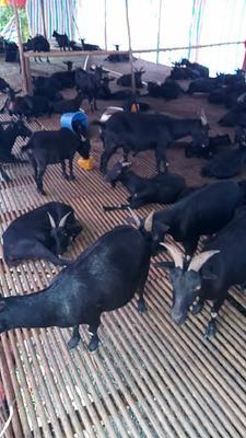广东省茂名市化州市黑山羊 300斤以上
