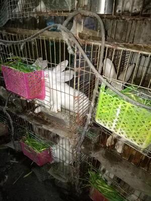 广西壮族自治区河池市罗城仫佬族自治县肉兔 5斤以上