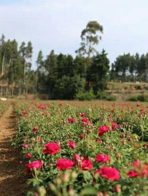 云南省昆明市安宁市食用玫瑰