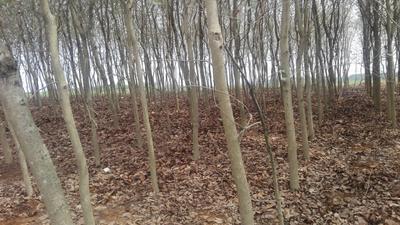 广西壮族自治区南宁市横县宫粉紫荆树