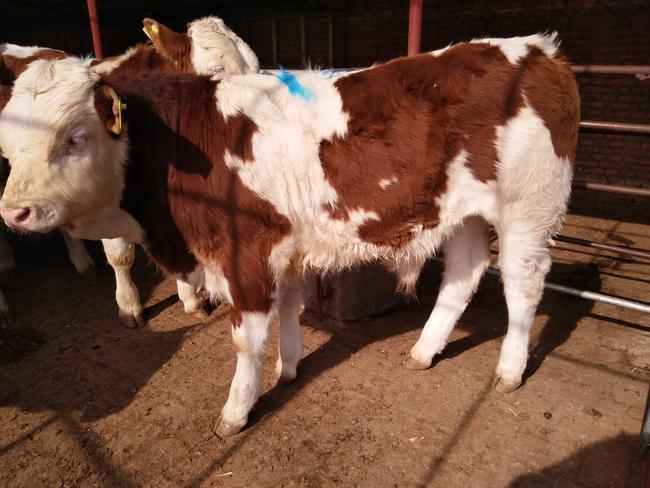 西门塔尔牛 400-600斤 公牛