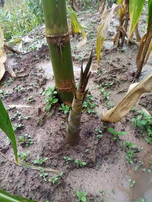 云南省普洱市思茅区甜竹笋 30cm以上 鲜笋