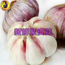 山东省聊城市东昌府区六瓣红 6.0-6.5cm 多瓣蒜