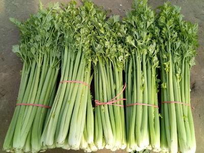 河南省商丘市民权县美国西芹 60cm以上 大棚种植 0.5~1.0斤