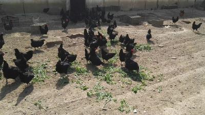 山东省泰安市东平县五黑鸡鸡蛋 食用 散装