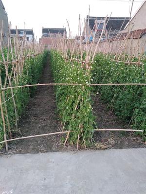 江苏省泰州市泰兴市甜脆豌豆 5-7cm 较饱满