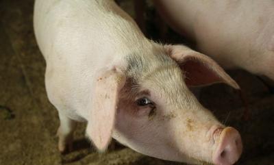 广西壮族自治区贺州市钟山县猪肉类 生肉