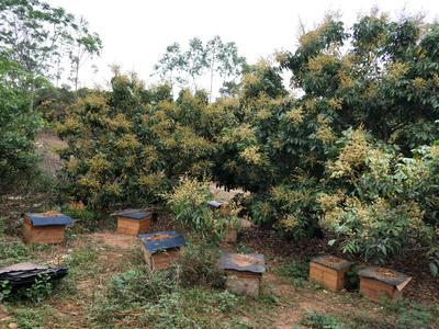 广西壮族自治区玉林市北流市中蜂