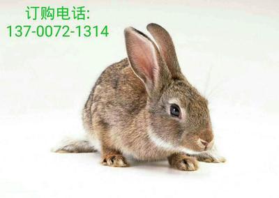 河南省安阳市汤阴县比利时野兔 3-5斤