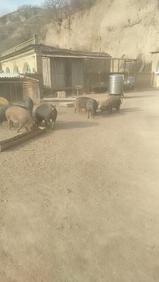 陕西省延安市甘泉县土杂猪 300斤以上