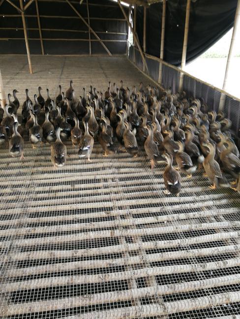 水鸭 公 半圈养半散养 2-3斤