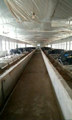 江西省宜春市高安市水牛 1000斤以上 公牛