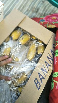 山东省滨州市邹平县西双版纳香蕉 八成熟 40斤以下