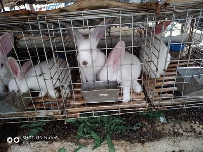 广东省茂名市信宜市肉兔 3-5斤