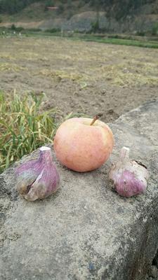 湖南省长沙市长沙县紫皮大蒜 4.5-5.0cm 多瓣蒜