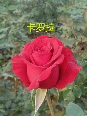 云南省昆明市呈贡区切花月季