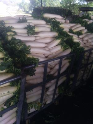 重庆潼南县白萝卜 3~3.5斤