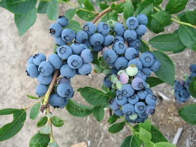 黑龙江省哈尔滨市尚志市杜克蓝莓苗