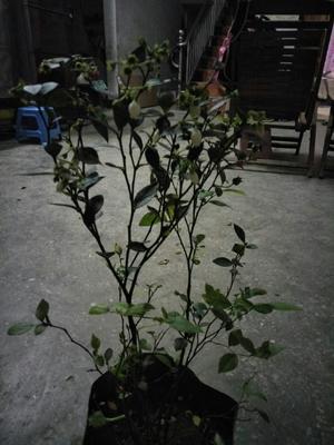 广西壮族自治区钦州市灵山县蓝宝石蓝莓苗