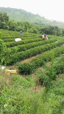 这是一张关于日照绿茶 散装 一级的产品图片