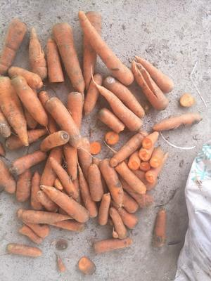 河南省开封市通许县三红胡萝卜 10~15cm 3两以上 3~4cm