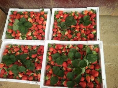 河南省郑州市中牟县美国甜查理草莓 20克以下