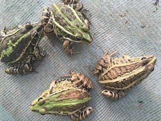这是一张关于青蛙的产品图片