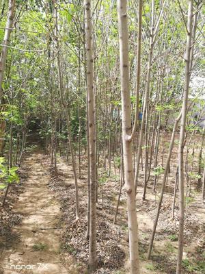 山东省泰安市岱岳区速生白蜡 3~3.5米