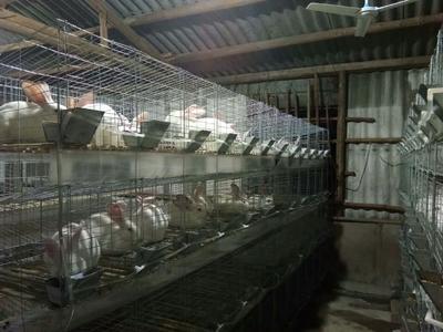 广东省潮州市饶平县肉兔 5斤以上