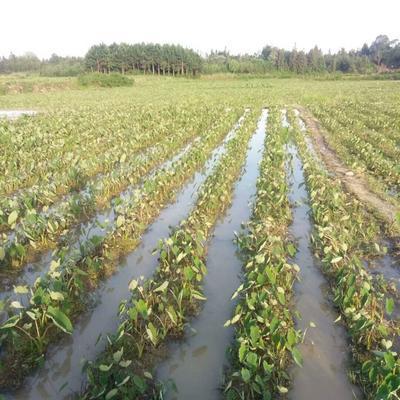 湖南省永州市江永县芋头种子 5cm以上