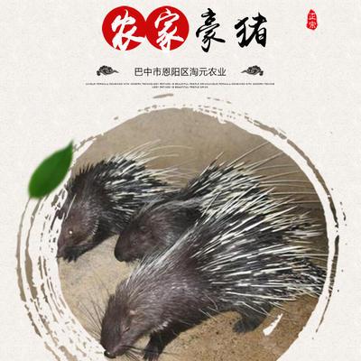 四川省巴中市巴州区豪猪刺