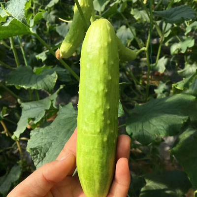 山东省烟台市海阳市白玉黄瓜 18~22cm 干花带刺