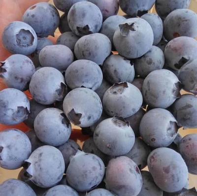 山东省青岛市胶南市蓝丰蓝莓 鲜果 12 - 14mm以上