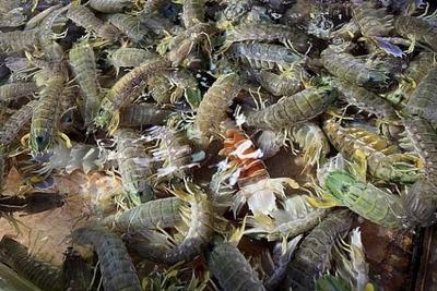 这是一张关于皮皮虾的产品图片