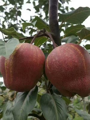 红梨苗 1~1.5米