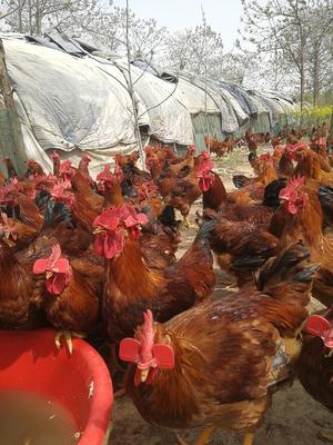 陕西省咸阳市兴平市B380鸡 公 6-7斤