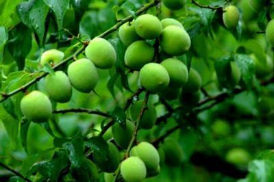 这是一张关于青梅树苗 成品树的产品图片