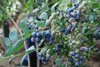 这是一张关于莱克西蓝莓苗的产品图片
